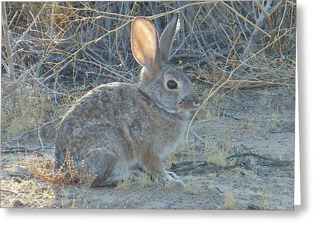 Cottontail Rabbit Morning Light Greeting Card