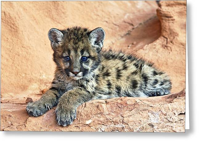 Cougar Kitten Resting Greeting Card