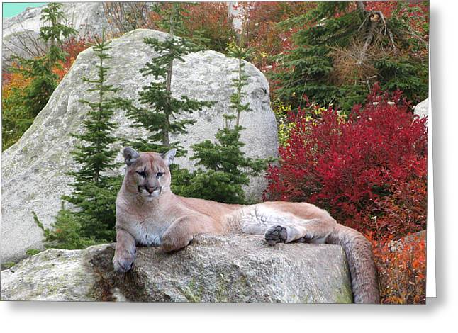 Cougar On Rock Greeting Card by Robert Bissett