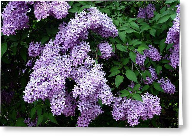 Country Lane Lilacs 1 Greeting Card
