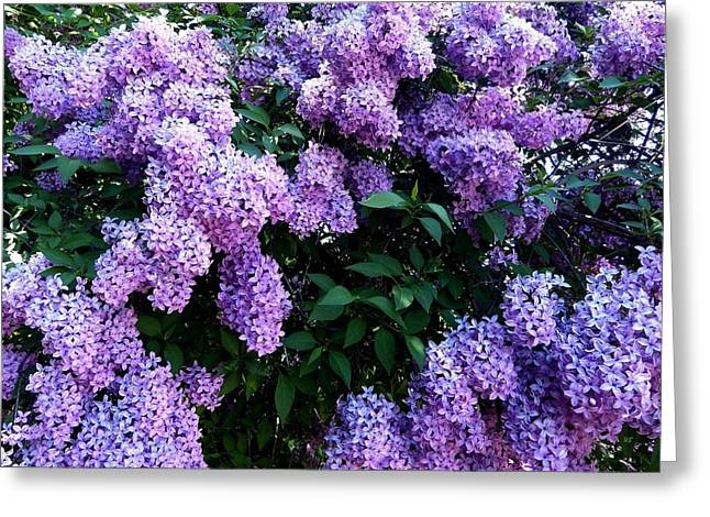 Country Lane Lilacs 2 Greeting Card