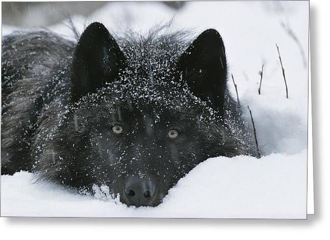 Bask Greeting Cards - Covered With Snow Flakes, A Gray Wolf Greeting Card by Jim And Jamie Dutcher