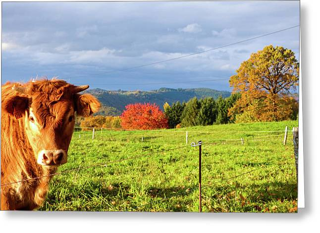 Cow And Autumn Colors  Greeting Card