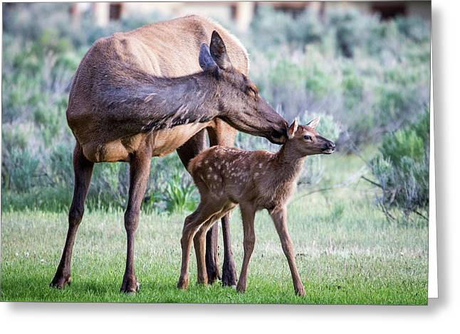 Greeting Card featuring the photograph Cow And Calf Elk by Wesley Aston