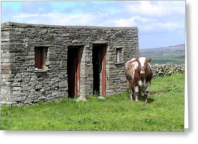 Cow Barn In Ireland Greeting Card by Jeanette Oberholtzer