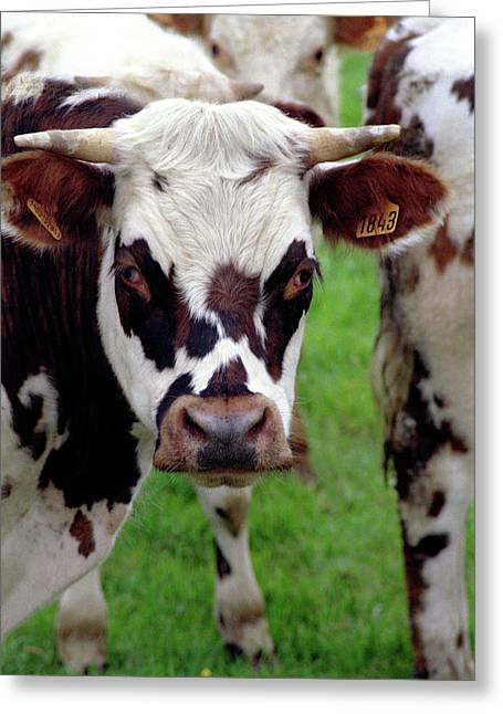 Cow Closeup Greeting Card