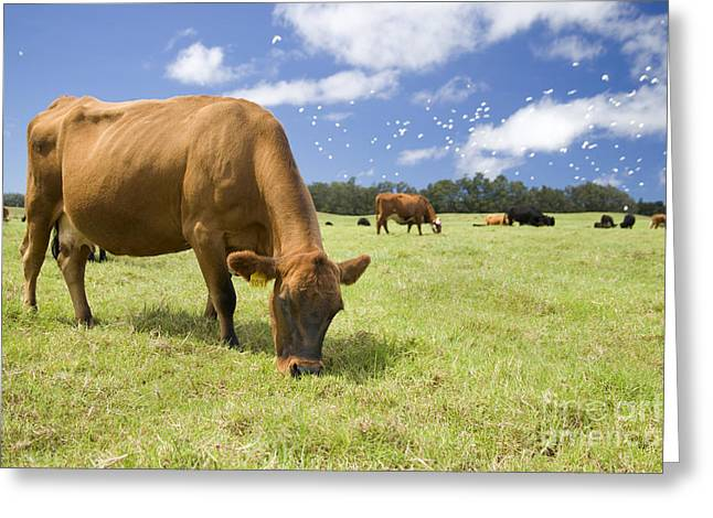 Cow Grazing Greeting Card by Inga Spence