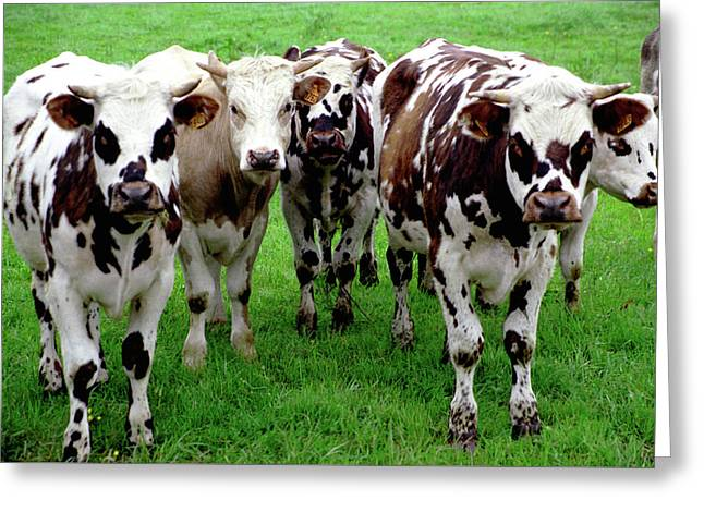 Cow Group Greeting Card