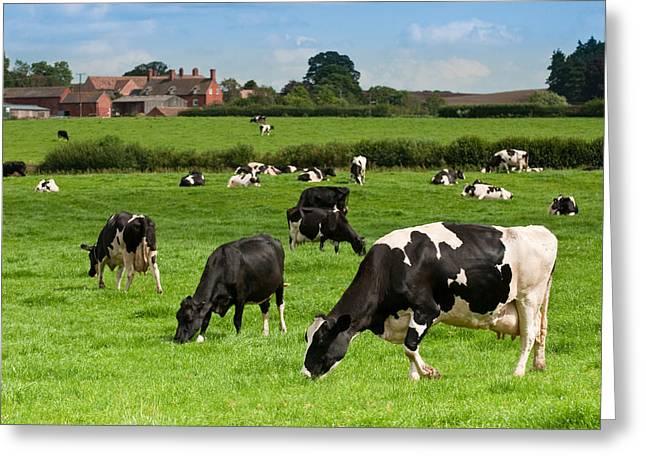 Cow Landscape Greeting Card by Amanda Elwell