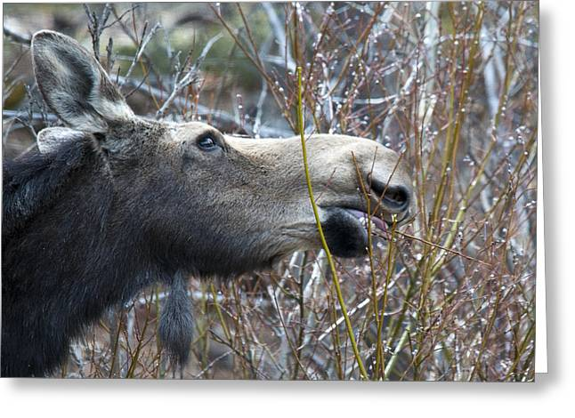 Cow Moose Dining On Willow Greeting Card