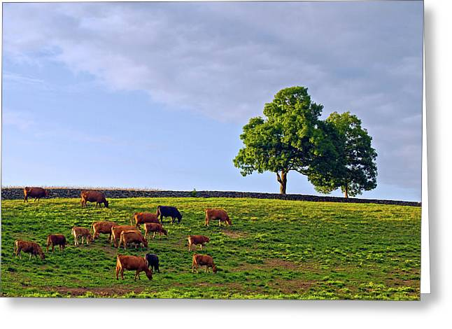 Cow Pasture Greeting Card by David Freuthal