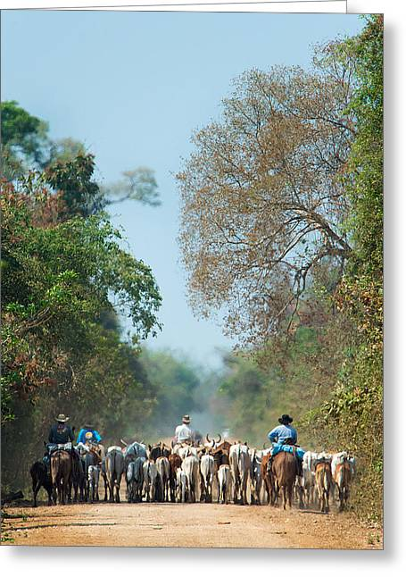 Cowboy Herding Cattle, Pantanal Greeting Card