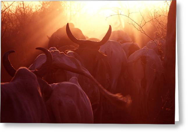 Cows Are Driven Into A Karimojong Kraal Greeting Card by David Pluth