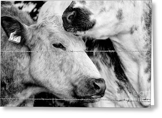 Cows Behind Barbed Wire Greeting Card by Nick Biemans