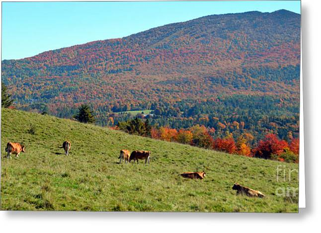 Cows Enjoying Vermont Autumn Greeting Card by Catherine Sherman