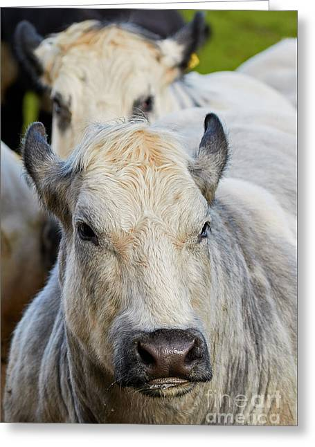 Cows In A Row Greeting Card by Nick Biemans