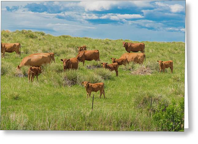 Cows In Field 1 Greeting Card