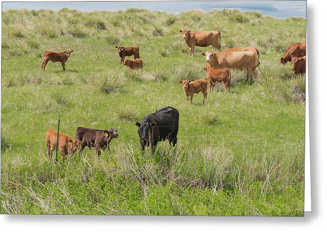 Greeting Card featuring the photograph Cows In Field 2 by Tom Potter