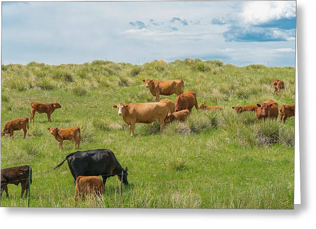 Greeting Card featuring the photograph Cows In Field 3 by Tom Potter