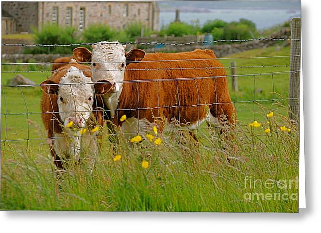 Cows In Iona Greeting Card by Louise Fahy