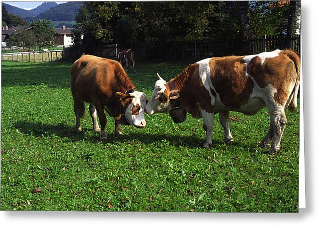 Greeting Card featuring the photograph Cows Nuzzling by Sally Weigand