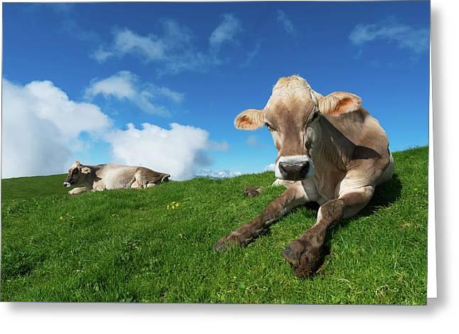 Cows Rest Greeting Card by Elena Riim