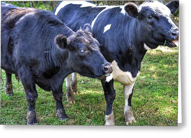 Cows Sticking Out Tongues Greeting Card