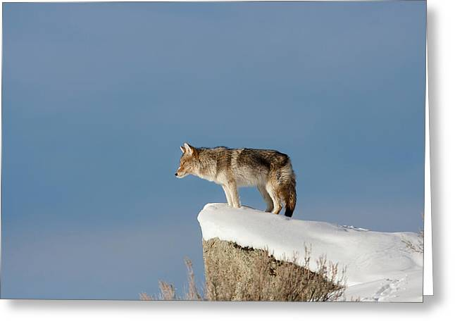 Coyote At Overlook Greeting Card