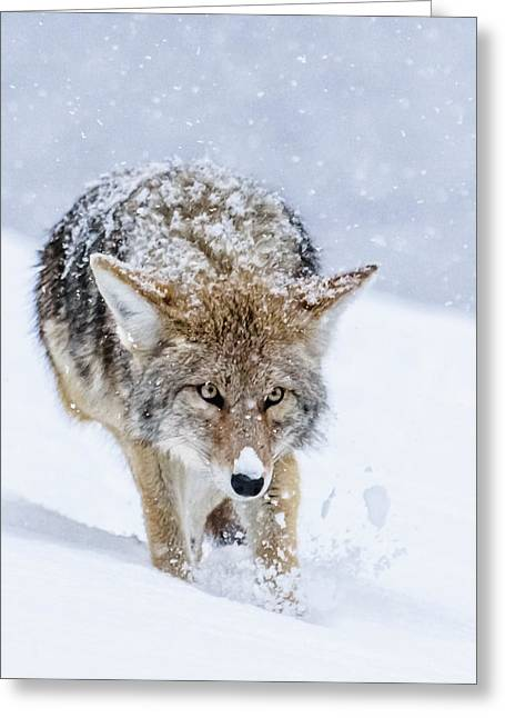 Coyote Coming Through Greeting Card