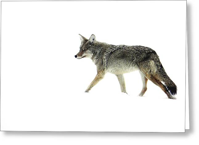 Coyote Crossing Greeting Card