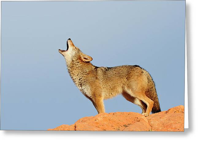 Coyote Howling Greeting Card by Dennis Hammer