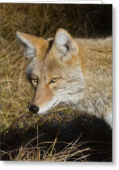 Coyote In The Wild Greeting Card