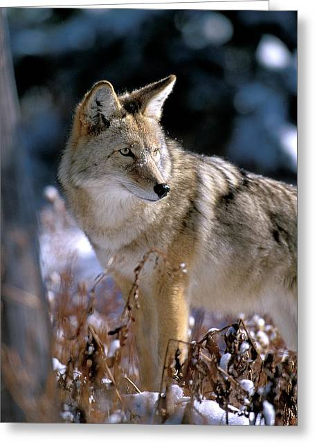 Coyote In Winter Light Greeting Card