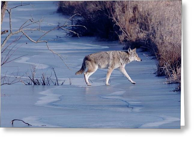 Coyote Greeting Card by John Adams