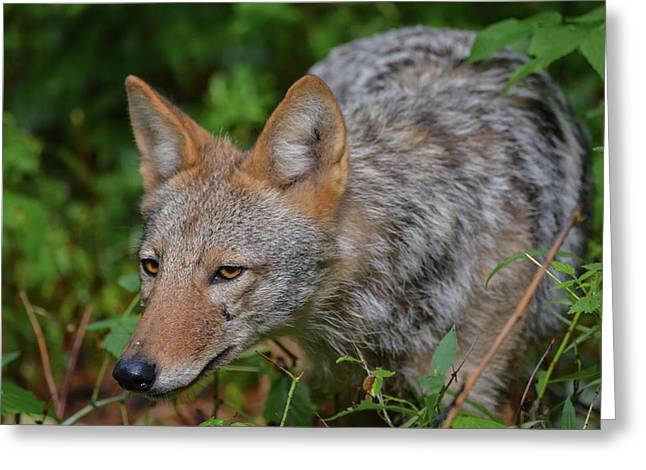 Coyote On The Hunt Greeting Card