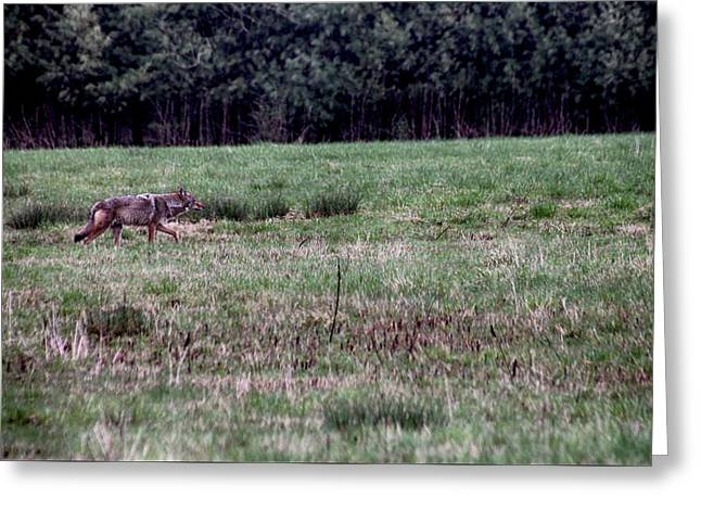 Coyote On The Prowl Greeting Card