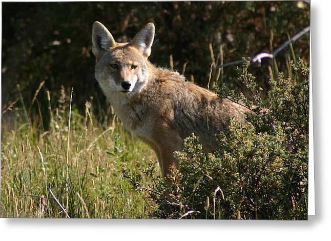 Coyote Resting Greeting Card by Perspective Imagery