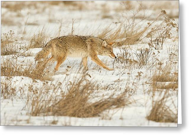 Coyote Stalk Greeting Card