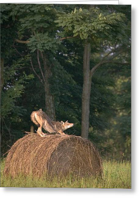 Coyote Stretching On Hay Bale Greeting Card