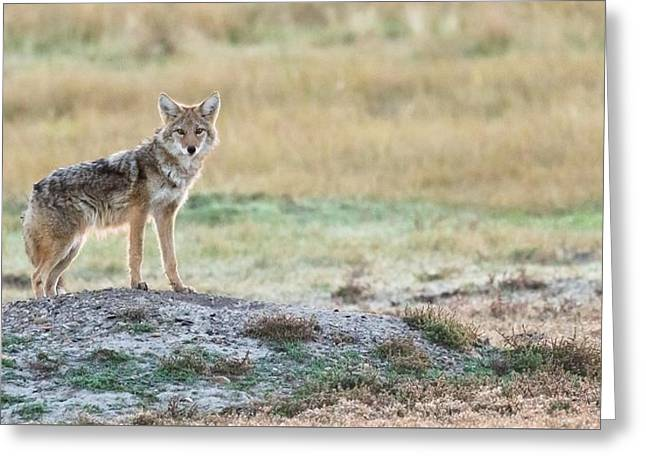 Coyotee Greeting Card
