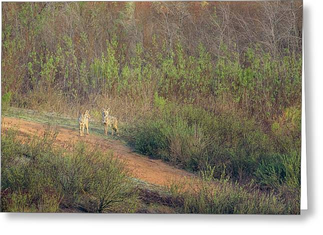 Coyotes In Morning Light Greeting Card