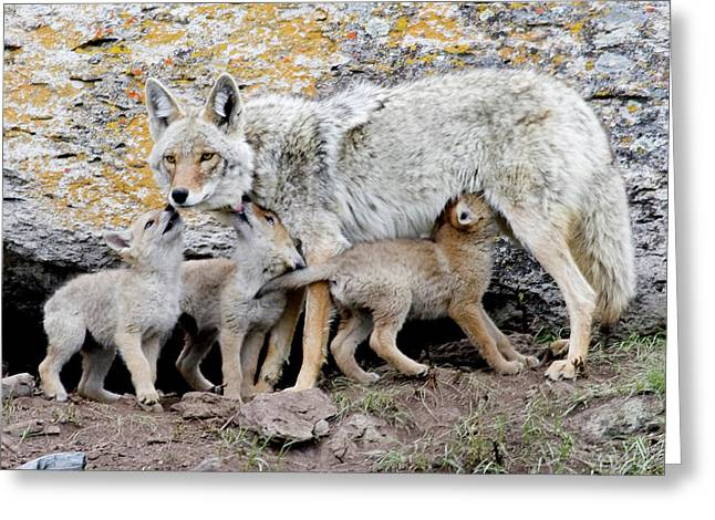 Coyotes Greeting Card