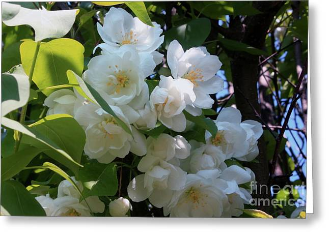 Crab Apple Blossoms 3 Greeting Card by Marjorie Imbeau