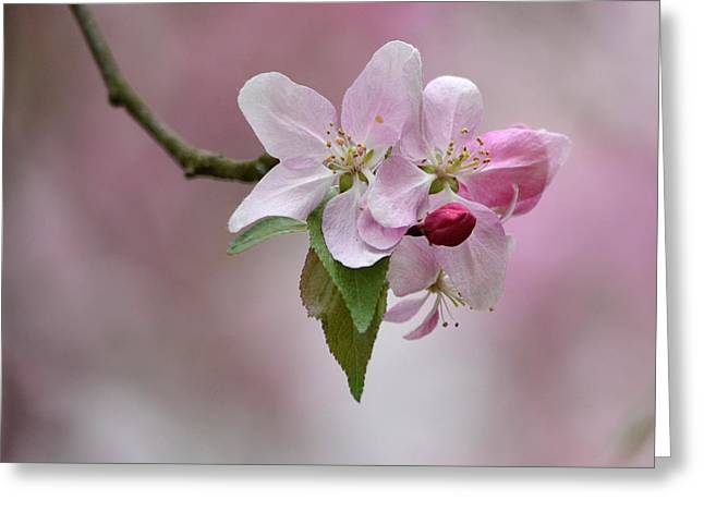 Crab Apple Blossoms Greeting Card by Ann Bridges