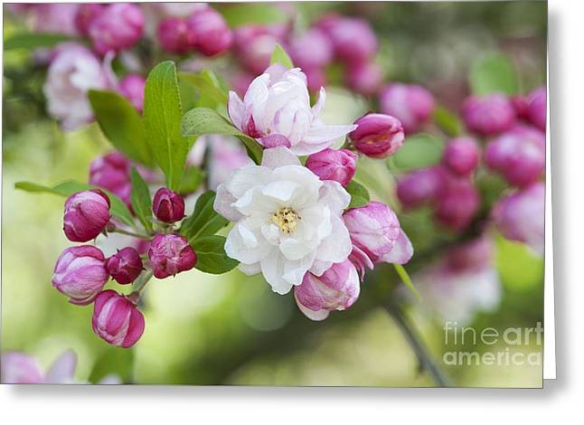 Crab Apple Snow Cloud Blossom Greeting Card