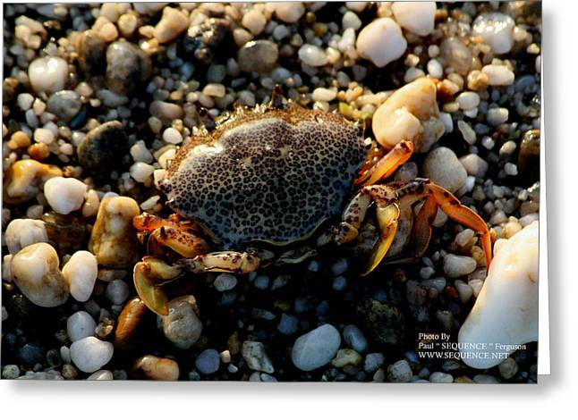 Crab On The Beach Greeting Card by Paul SEQUENCE Ferguson             sequence dot net