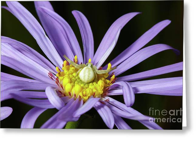 Crab Spider - Misumena Vatia - On Purple Aster Flower Greeting Card