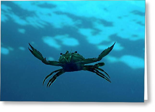 Sami Sarkis Photographs Greeting Cards - Crab swimming in the blue water Greeting Card by Sami Sarkis