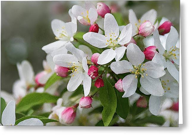Crabapple Blossoms 12 - Greeting Card