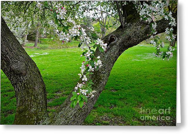 Crabapple Blossoms On A Rainy Spring Day Greeting Card